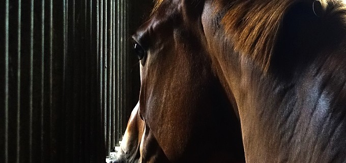 Horse looking out stall bars waiting for NRHA member